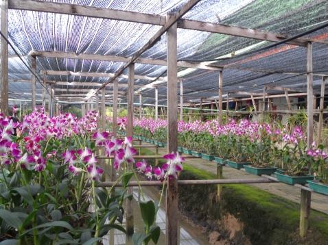 Thailandia_ Orchidee