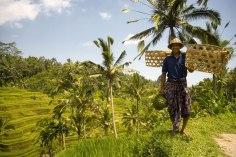 Bali_coltivatore di riso