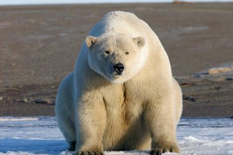 Alaska Polar Bear Alaska