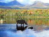 Canadian Moose - Alaska, Denali NP