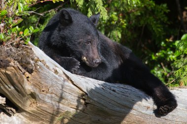 Vancouver Island - Bear Whatching
