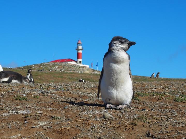 Isla Magdalena - Cile