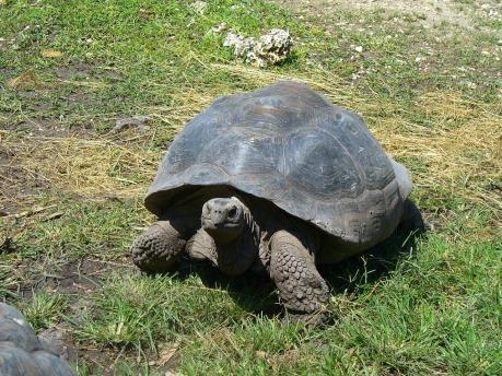Tartaruga gigante - Galapagos Islands