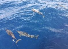 Maldive - Delfini
