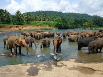 Pinnawela - Sri Lnaka