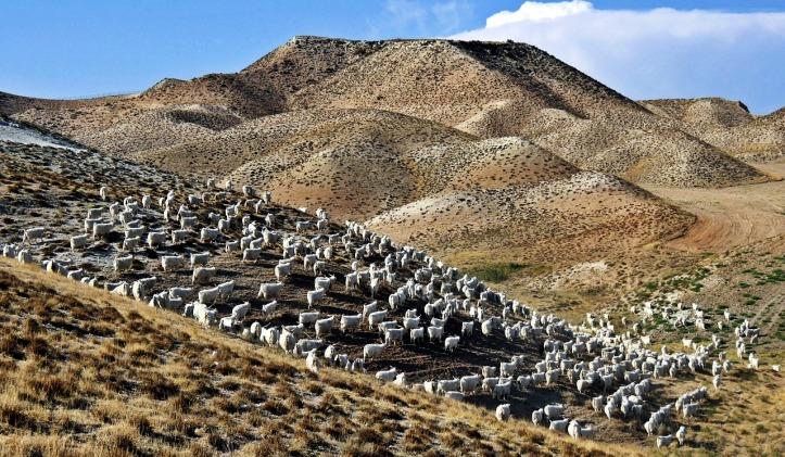 ankara-angora-goats-2778763_1280