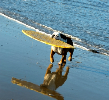 San Diego - Dog Surfer