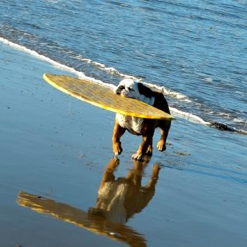 San Diego - Dog Surfer