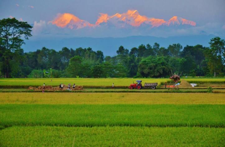 Nepal - Risaie