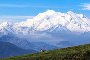 Caribou - Denali NP- Alaska