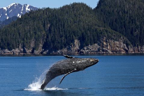 humpback whale-Alaska