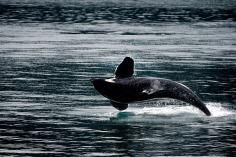 killer whale-Alaska