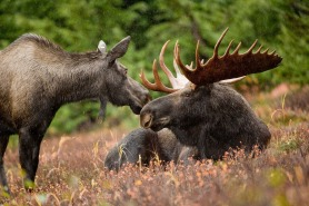 moose - Alaska