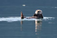 sea otter-Alaska