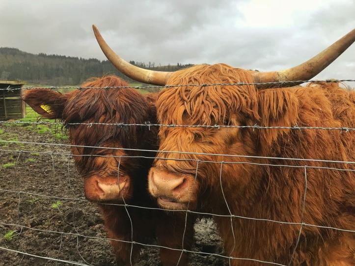 Mucche Scozzesi