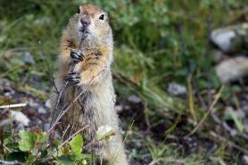 Marmotta - Alaska