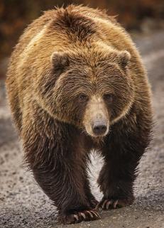 Orso - Alaska