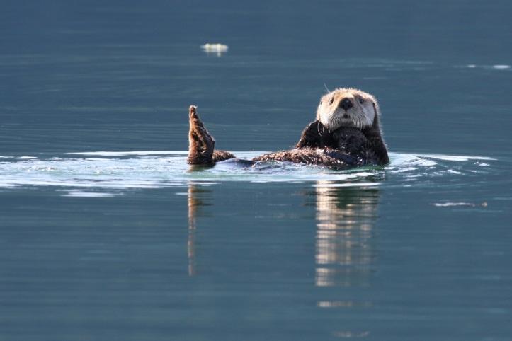 00 Alaska - sea-otter