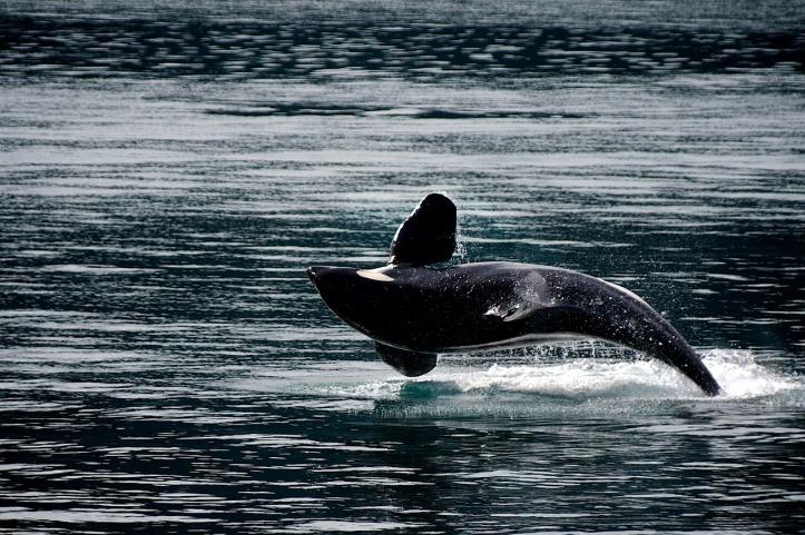 killer-whale-Alaska